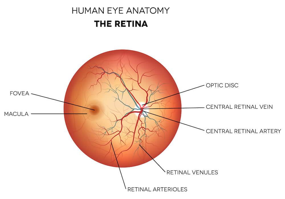 The retina diagram
